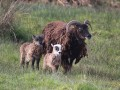 Soay sheep on site