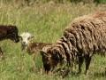 Rare breed Soay Sheep