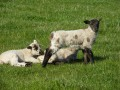 Lambs in April