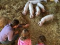 Visit our British Lop pigs